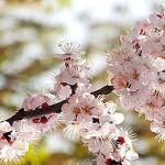 blommande trädgren